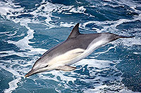 Common dolphin leap