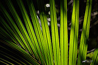Nikau palm fronds in sun canvas print