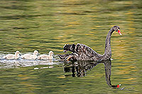 Black swan and sygnets canvas print