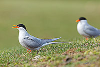Black fronted terns