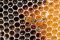 Honey Bees working on honeycomb canvas print