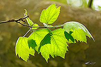 Plane tree leaves